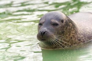 foca de puerto (phoca vitulina) foto