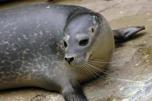 ritratto di foca