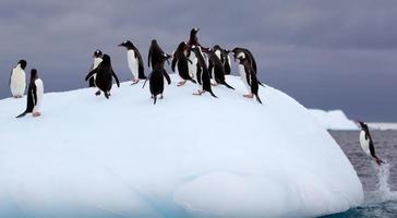 saltando pingüinos gentoo en iceberg foto