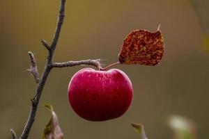 Apple in autumn photo