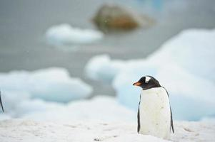 pingüino gentoo foto