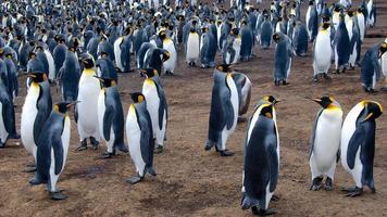 pinguins rei
