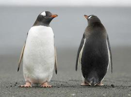 Penguins looking in opposite directions photo