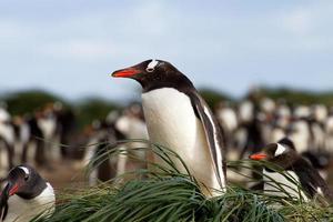 pingüino gentoo está sentado en su nido foto