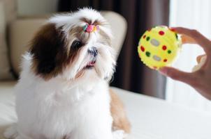lindo cachorro shih tzu está sentado en el sofá foto