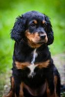 Gordon Setter Puppy with black, white and brown coat