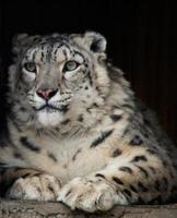 IRBIS or snow leopard