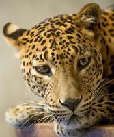 cabeça de leopardo