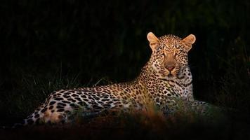 leopardo deitado na escuridão
