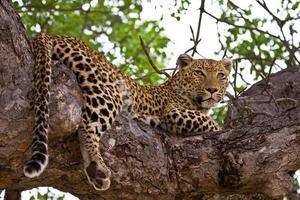 leopardo deitado na árvore