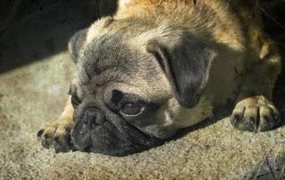 Pug puppy laying. Sunshine. Retro photography