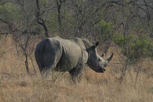 White Rhinoceros photo