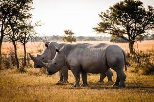 dos rinocerontes foto