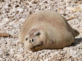 foca monje mediterránea foto