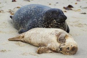 focas del puerto de california foto