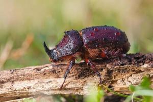 Escarabajo rinoceronte europeo en hierba