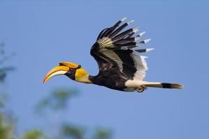 Close up side view of flying Great hornbill