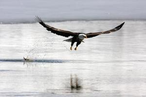 águila calva en vuelo haliaeetus leucocephalus utah ave de rapiña foto