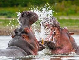 hipopótamo, kenia foto