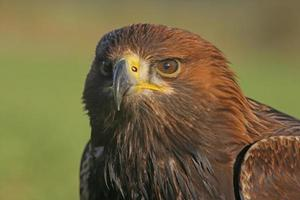 águila real, aquila chrysaetos