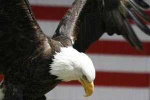 Eagle with wings spread photo
