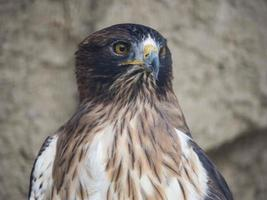 águila real photo