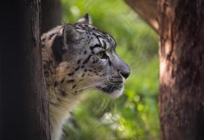 leopardo de nieve foto
