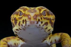 Leopard gecko photo