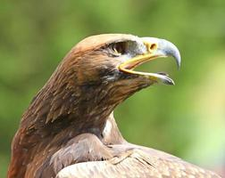 poderoso águila con su pico abierto de par en par