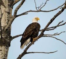 águila calva en un árbol