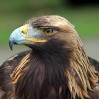 The head of Golden Eagle photo