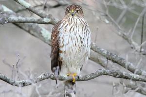 Juvenile Coopers Hawk photo