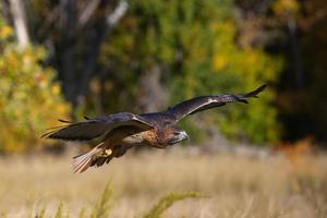 halcón de cola roja en vuelo foto