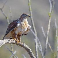 faucon ferrugineux