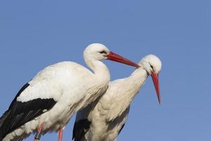White stork pair