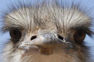 Primer plano de un avestruz que parece tonto o malo
