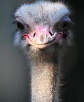 avestruz africano, retrato,