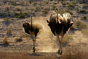Ostriches in dust
