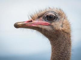 retrato de un avestruz