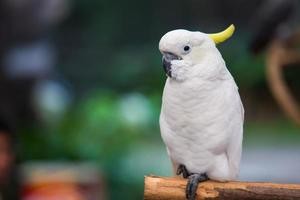 White cockatoo in the park.