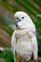 Mollucan Cockatoo