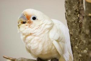 Young Goffin Cockatoo photo