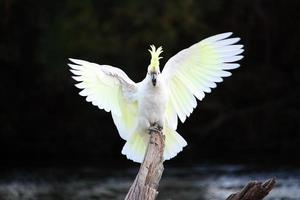 Australian Sulphur-Crested Cockatoo perched on log, wings spread