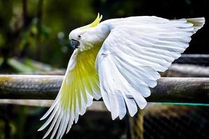 Sulphur Crested Cockatoo