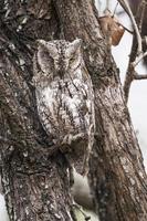 African Scops-Owl in Kruger National park photo