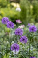 flor de cebolla foto