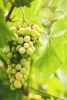 Grape of juicy delicious muscat. Abstract agriculture background photo