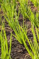 onions field photo