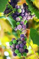 Fresh grapes on the vine branches photo