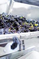 Grapes going into stemmer-crusher machine